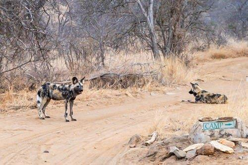 Wild dog with full belly by John B35