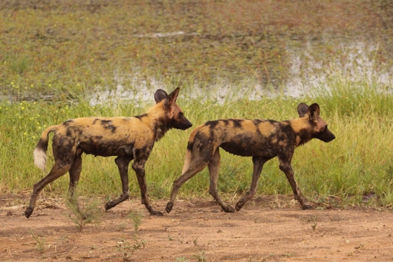 Wild dogs at Big dam by Graham Benfield