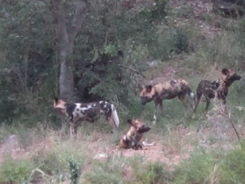 Wild dogs by Anita 2