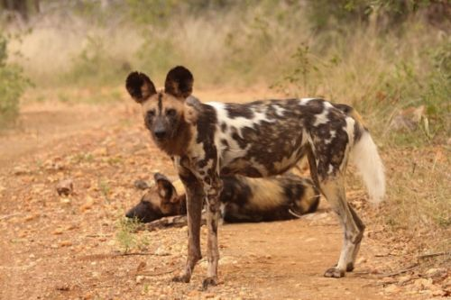 Wild dogs by Graham Benfield