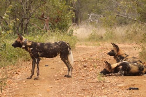 Wild dogs by Graham Benfield 2