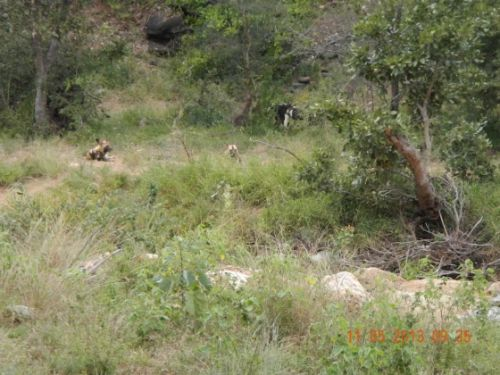 Wild dogs by Kari