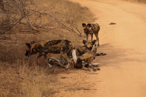 Wild dogs on Olifants River by Graham Benfield