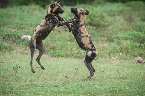 Wild dogs playing at Hide Dam by Eileen Fletcher