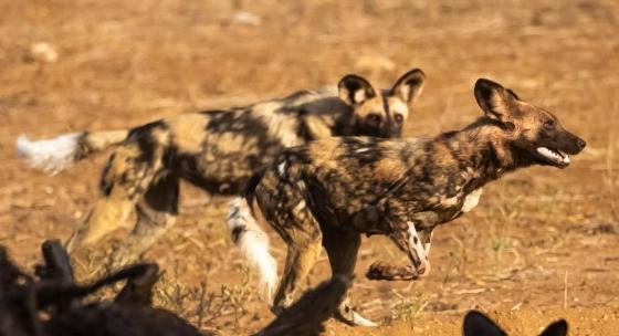 Wilddogs in motion by John B35