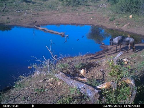 Wildebeeste at Wildebeeste dam