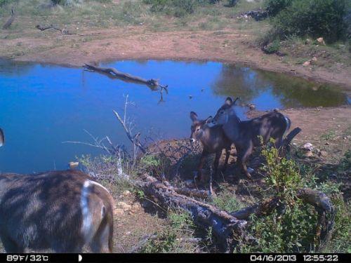 Wildebeeste camera trap
