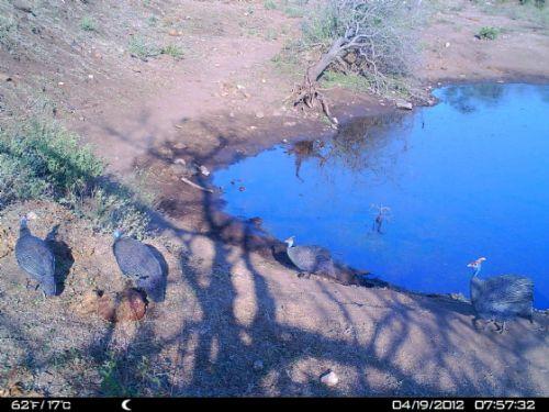 Wildebeeste dam camera trap
