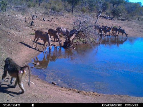 Wildebeeste dam scene