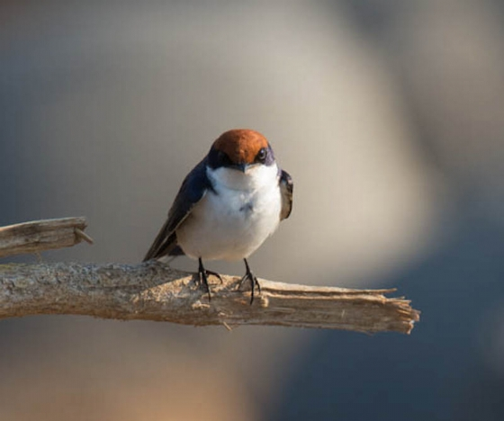 Wire tailed swallow by Eileen Fletcher
