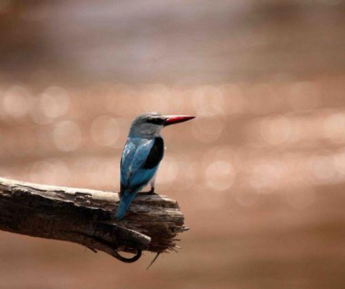 Woodlands Kingfisher by Nic Holzer