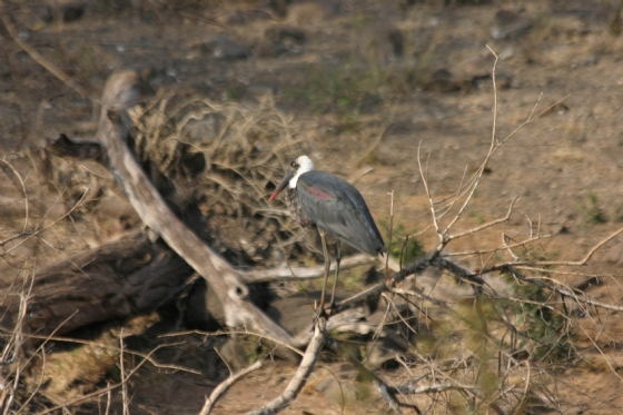 Woolly necked stork at Ndlovu dam by Rene by A4