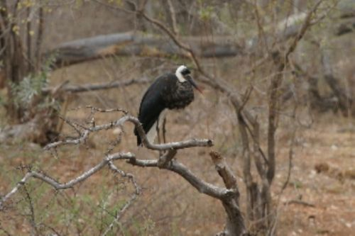 Woollynecked Story at Kudu Pan by Roy Markham