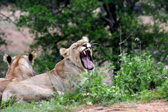 Yawning Lioness on River Loop. Teich B25