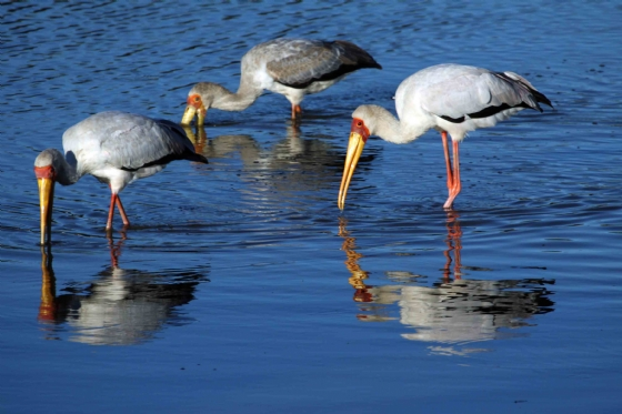 Yellow Billed Storks by Nic Holzer