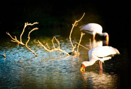 Yellow-billed Storks by Dan B33