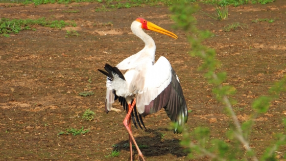 Yellow billed stork by Barry A5