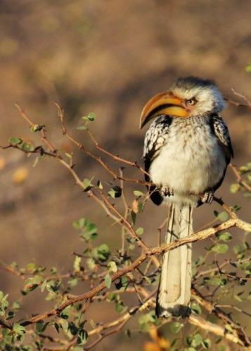 Yellowbilled Hornbill by Veronica Hurly