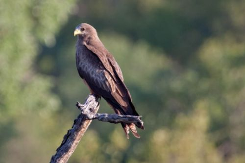 Yellowbilled Kite by Alec Ryall