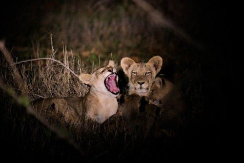 Young Cubs at Purple Roller Junction 1 by Dan B33