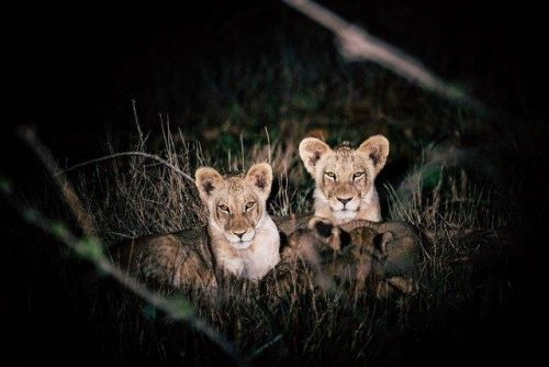 Young Cubs at Purple Roller Junction 2 by Dan B33