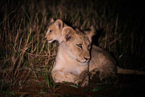 Young Cubs at Purple Roller Junction 3 by Dan B33