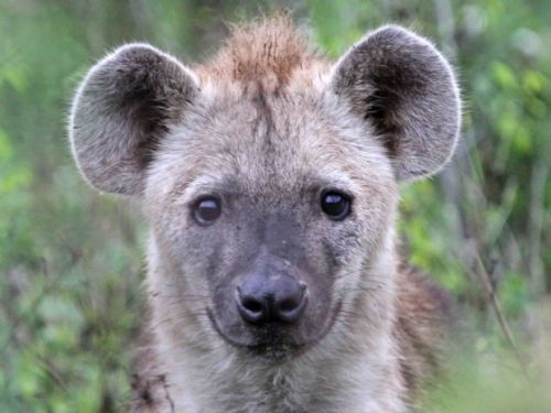Young Hyaena by Nic Holzer