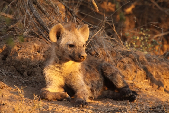 Young Hyena 1 by GB B2