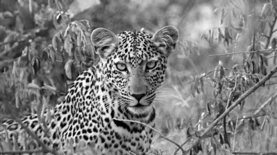 Young Leopard by Nic Holzer