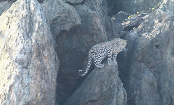 Young Leopard by Simon B19 (2)