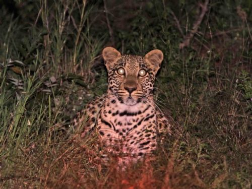 Young Leopard on river loop by Nic Holzer