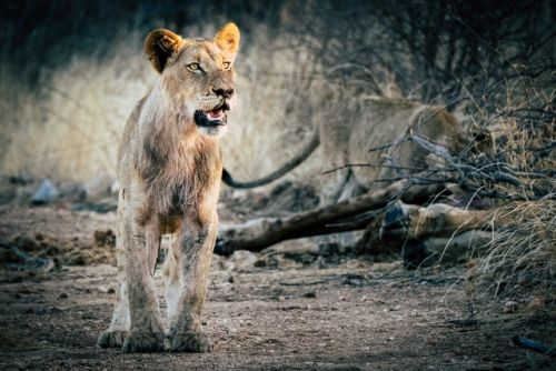 Young Male on Cheetah Walk by Dan B33