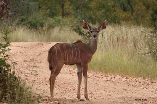 Young kudu by Graham Benfield