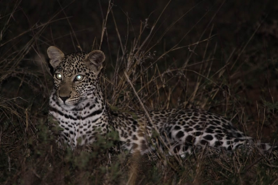 Young leopard at Nkonkoni by Graham Benfield 2
