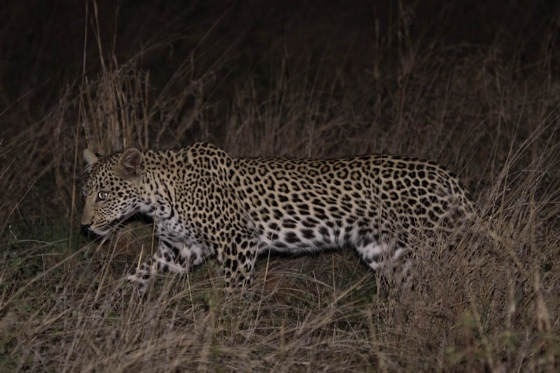 Young leopard at Nkonkoni by Graham Benfield