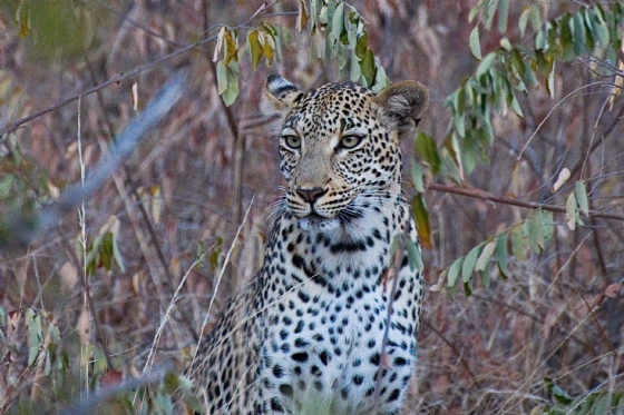 Young leopard by Anthony B27-2