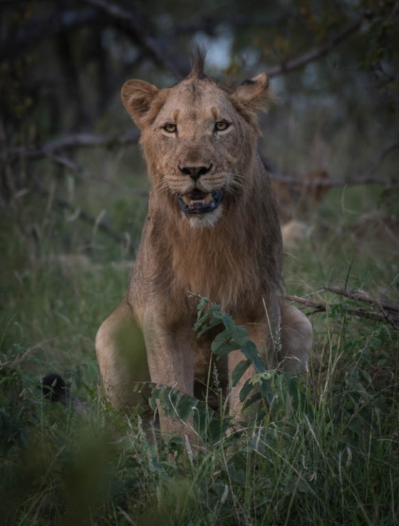 Young lion 2 by Anne B36