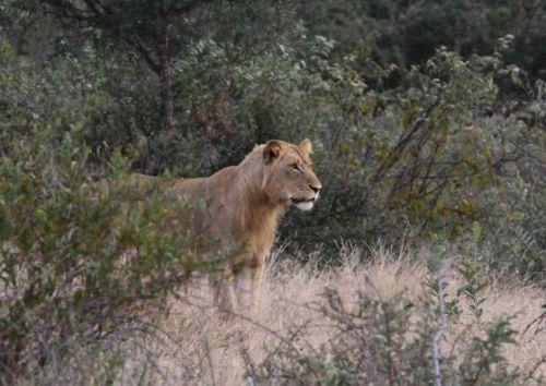 Young lion near Nkonkoni by Simon Leppard