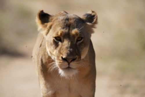 Younger lioness Aviary road by Eileen Fletcher