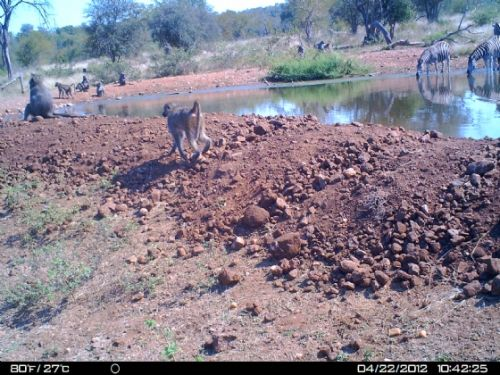Zebra and baboon at Kudu Pan