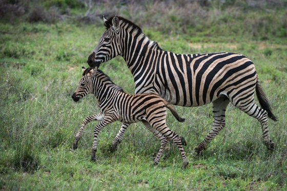 Zebra and foal by Anne Hrabar