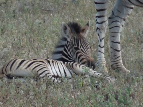 Zebra and foal by Ray Fallows