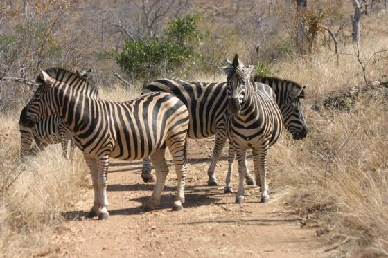 Zebra at Ballinites road by Rene A4