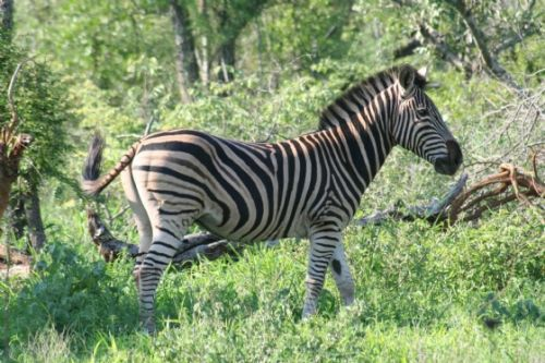 Zebra by Analia And Richard