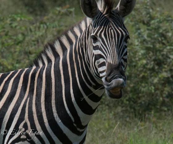 Zebra by Eileen Egan