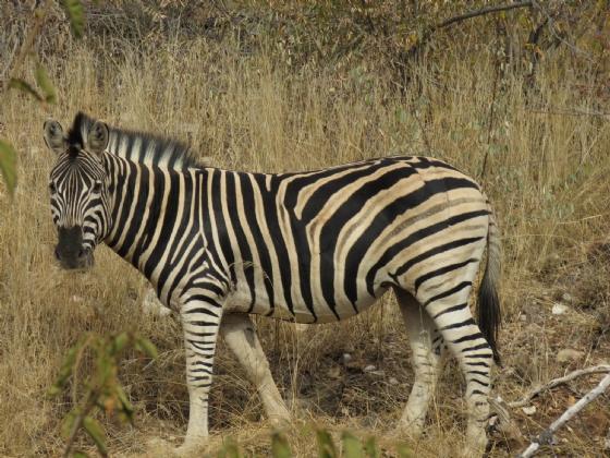 Zebra by JD B13