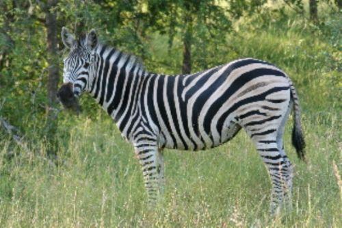 Zebra by Richard Brune