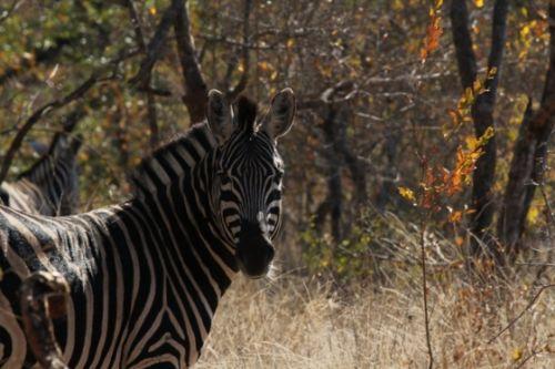 Zebra by Wendy Leppard