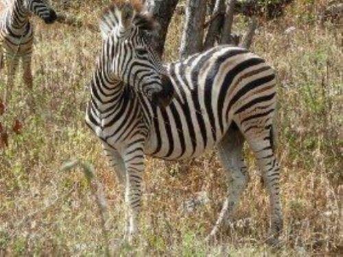Zebra teenager by Richard Wostenholm