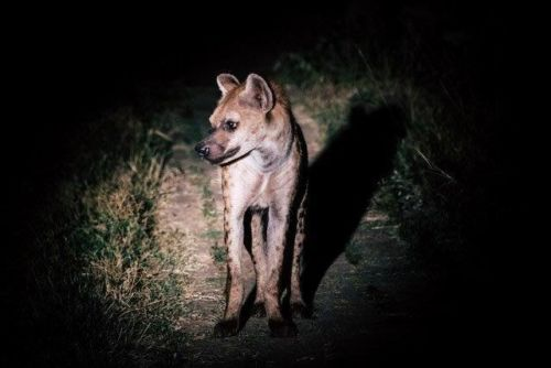 1 of 4 Hyena at Causeway 2 by Dan B33